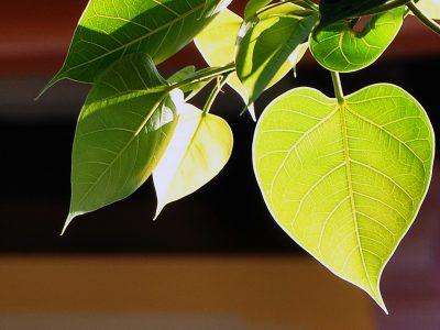 Một Tháng Tưởng Niệm Và Tôn Vinh Ngày Phật Thành Đạo Và Sinh Nhật Sư Phụ – Cảm Tác Cây Bồ Đề Ở Chùa Long Hương